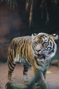 Tiger.