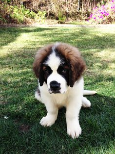 Such a cutie. If I ever live in the country, I will get a St. Bernard.