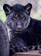 Bear Creek Sanctuary Jaglions Photos Stage 3