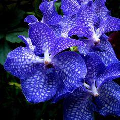 Flores da Orquídea Vanda azul