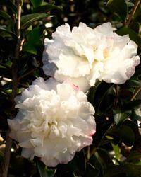 GOT TO HAVE IT! October Magic™ Snow Camellia | Shrubs | Southern Living Plant Collection