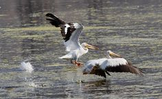White pelicans take off from a wetland pond at Farmington Bay Wildlife Management Area west of Farmington and I-15.   The bay provides a habitat for birds and animals near the urban Wasatch Front. (Al Hartmann  |  The Salt Lake Tribune)