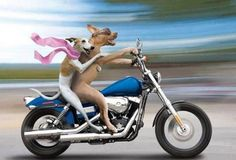 Funny Dog Pictures: A Whippet and Pit Bull Riding a Harley-Davidson Motorcyle Funny Dogs, Funny Animals, Cute Animals, Animal Fun, Motorcycle Humor, Girl Motorcycle, Motorcycle Images, Top Imagem, Gb Bilder