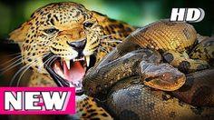 Rock Python vs Leopard   Giant Python Attacks   Python Attack Compilatio...
