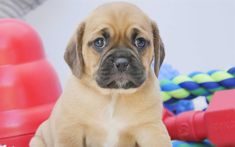 Download Wallpapers 4k Puggle Cute Dog Pets Puppy Cute