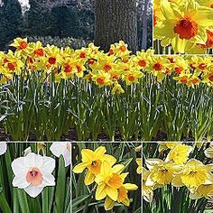 I ordered mine... Premium Holland Bulbs, Flower Bulbs, Daylilies, Daffodils, Dahlias, Perennials, Tulip Bulbs, Garden Plants, Peonies and more - Brecks.com