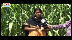 Available Green Grass For Animals | Production Of Milk - Raithe Raju Spe...