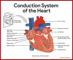 Conduction System of the Heart Anatomy and Physiology    Cardiovascular System Anatomy and Physiology Study Guide for Nurses: https://nurseslabs.com/cardiovascular-system-anatomy-physiology/