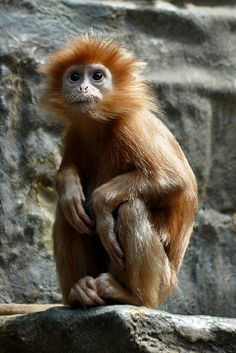 Javan Lutung | Flickr - Photo Sharing!