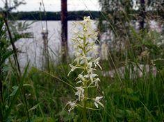 Valkolehdokki, Platanthera bifolia - Kukkakasvit - LuontoPortti