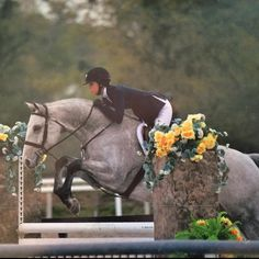 Proudly offered for sale The Silver Screen, 7 year old Oldenburg Gelding.  Currently standing in top 10 nationally in the Younger AO lows with minimal campaigning.  Reserve Champion Second Half Circuit Ocala 2016 low AO's under 35.  Circuit Champion Ocala 2015 Children's older. Extensive USEF record speaks for itself. Very competitive in extremely good company. Fabulous jump, rhythmical canter, and a beautiful trot. Judges love this horse and pin him well with many champions and firsts…