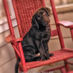 """""""Chocolate Labrador Puppy"""" ---- [Expressive eyes - head tilted - sitting in red rocking chair on front porch.]~ Photographer Lennette Newell"""