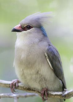 A Blue-naped Mousebird (Uroclius marcrourus) from the San Diego Zoo. Eye-catcher | by Paul.E.M