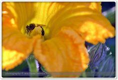 Flor de calabaza rellena de Anthophila rebozada en polen