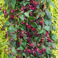 Fuchsia 'Lady in Black' (Climbing) - Climbing Plants - Van Meuwen