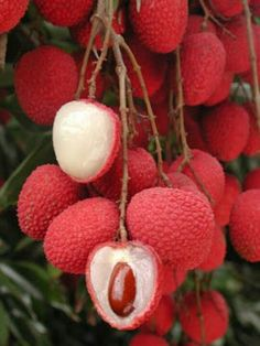 "Lychee fruit nutrition facts Delicious and juicy Lychee or ""Litchi"" reminds you the arrival of summer. Botanically, this exotic fruit belongs to the family of Sapindaceae and named scie… Fruit And Veg, Fruits And Vegetables, Fresh Fruit, Kids Fruit, Seasonal Fruits, Photo Fruit, Lychee Fruit, Lychee Tree, Lychee Juice"
