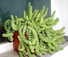Crassula marnieriana- 'String of Buttons' or 'Chinese Pagoda.'
