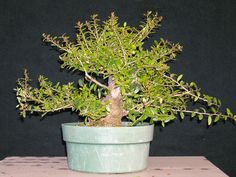 Developing Yaupon holly #bonsai – a tale of when not to cut