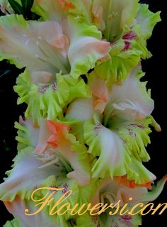 Gladiolus 'Peacock Feather'