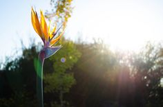 Mendez Photography | Nature Bird of Paradise flower in Ojai, Ca