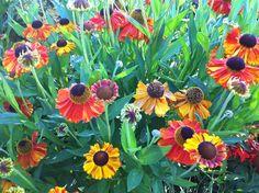 Sneezeweed - Helenium Autumnale Annabelle Hydrangea, Perennials, Gardening, Flowers, Plants, Image, Garten, Flora, Plant