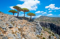 If I were in charge of promoting tourism in Yemen, I'd be using the native dragon tree, or Socotra tree, as my mascot. Native to the Socotra Island these