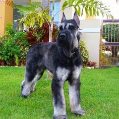 Albus the Salt and Pepper Giant Schnauzer just 15 month old. I want one!!!!