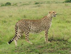 Большие кошки Гепарды Трава Животные