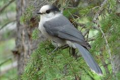 Official Canadian Provincial Birds: The gray jay is a top runner to become Canada's national bird.
