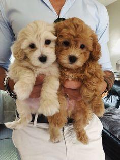 dogs and puppies Deux petits chiots qui pourraient tre pris pour des frres. Baby Animals Super Cute, Super Cute Puppies, Cute Little Puppies, Cute Little Animals, Cute Dogs And Puppies, Cute Funny Animals, Baby Dogs, Cute Babies, Doggies