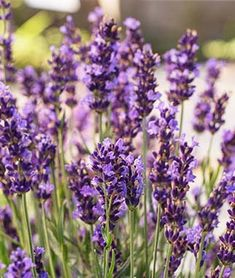 25 Drought Resistant Perennials Forever Blue Lavandula Angustifolia #DroughtResistant #Gardening