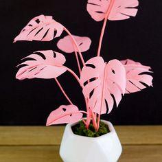 Pink Monstera plant