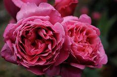 rosa line renaud meilland