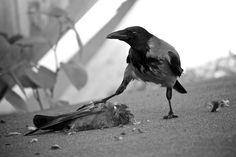 Crow feeding / By Vantis