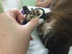 Amorzimho um gato de 20 anos fazendo Moxabustão e acupuntura em domicílio
