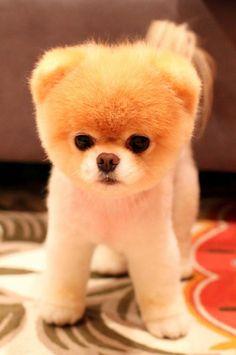 Boo: El perro más lindo del mundo