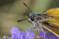 Macro photography – small skipper butterfly | Simon Hawketts's Photo ...