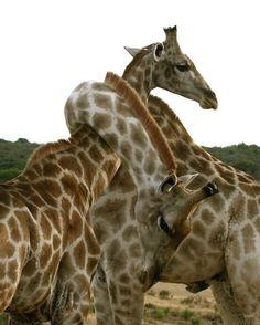 Giraffes game of twister😊