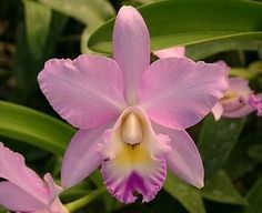 Angel Love 'Pinky' Cattleya Orchid Plant In my collection.