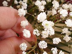 gypsophila (baby's breath)