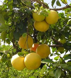 Google Image Result for http://sodandmulch.com/wp-content/uploads/2012/03/Grapefruit-Tree-Care.jpg