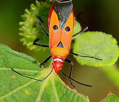 Hitler Bug