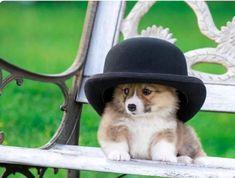 Welsh corgi - noun : a short-legged long-backed dog with foxy head of either of two breeds of Welsh origin: a : cardigan welsh corgi b : pembroke. Corgi Gif, Corgi Funny, Cute Funny Animals, Funny Animal Pictures, Funny Corgi Pictures, Cute Puppies, Cute Dogs, Corgi Puppies, Fluffy Corgi