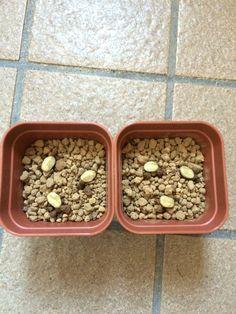 2016/04/17 コーヒーの種を赤玉土小粒に植え付けました。