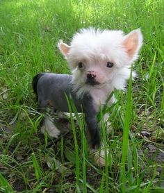 Crestie puppy in the grass