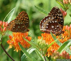 Great Spangled Fritillary (Speyeria cybele). Early blue violet and stream violet.