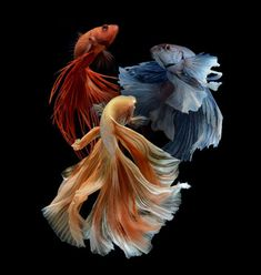 PRODAC BETTA FOOD is a compound feed in granules for all Betta splendens. Read more on our WEBSITE www.it - The Siamese fighting fish (Betta splendens), also sometimes colloquially known as the Betta, is popular as an aquarium fish. Colorful Fish, Tropical Fish, Poisson Combatant, Beautiful Creatures, Animals Beautiful, Animals And Pets, Cute Animals, Carpe Koi, Siamese Fighting Fish