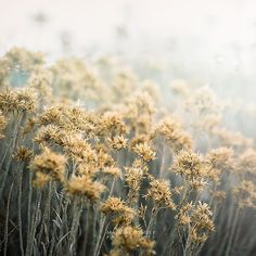 Gold Flowers Photograph, Misty Nature Photo by MaleahTorney $30