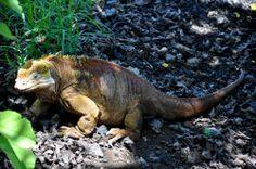 Iguana at the Charles Darwin Station. From up close his skin looks like corn on the cob! #Galapagos #Ecuador