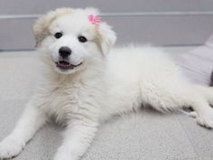 Untitled Great Pyrenees Puppy Great Pyrenees Puppies